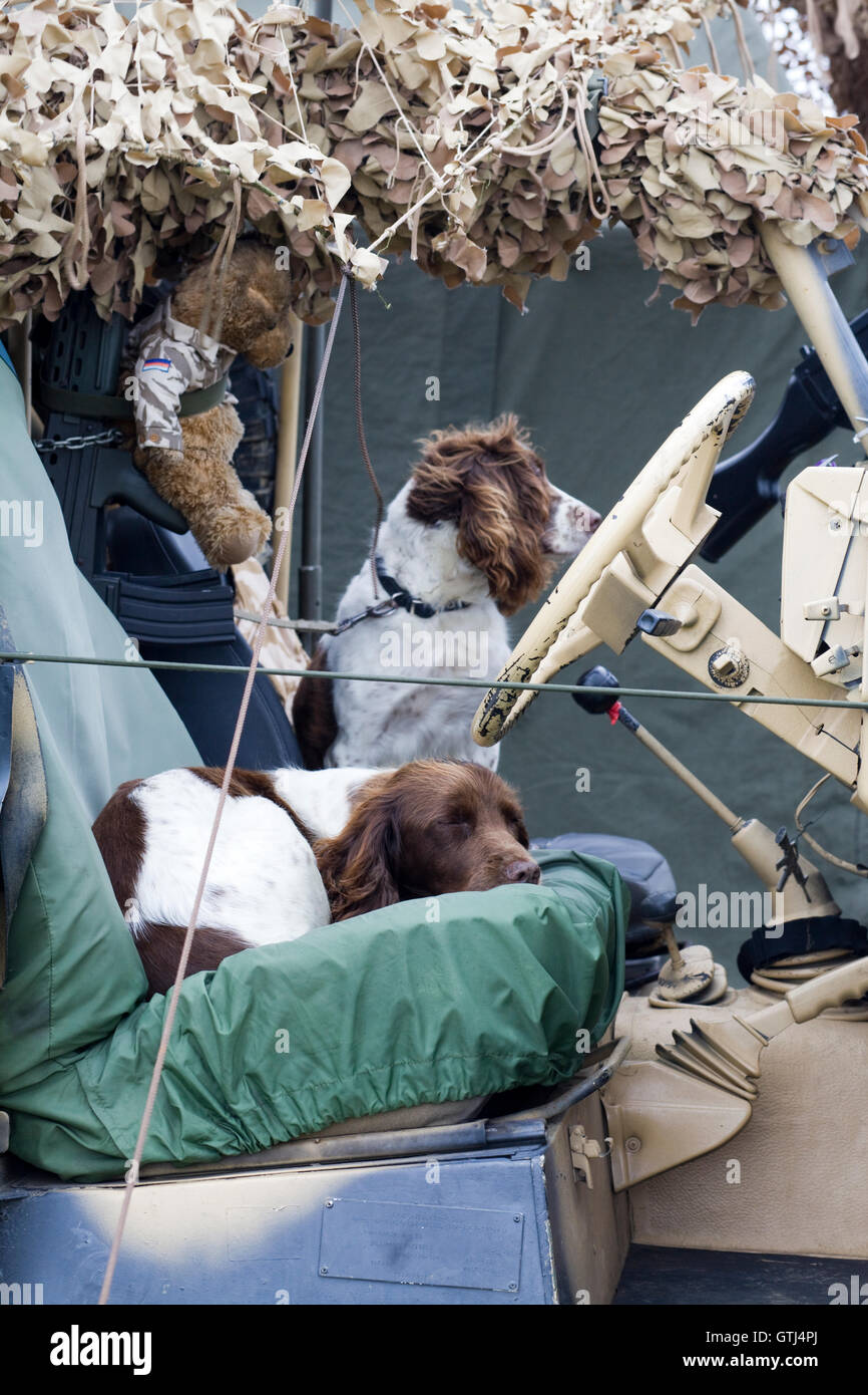 English Springer Spaniel Bomb sniffer dogs relaxing in an army jeep - Stock Image