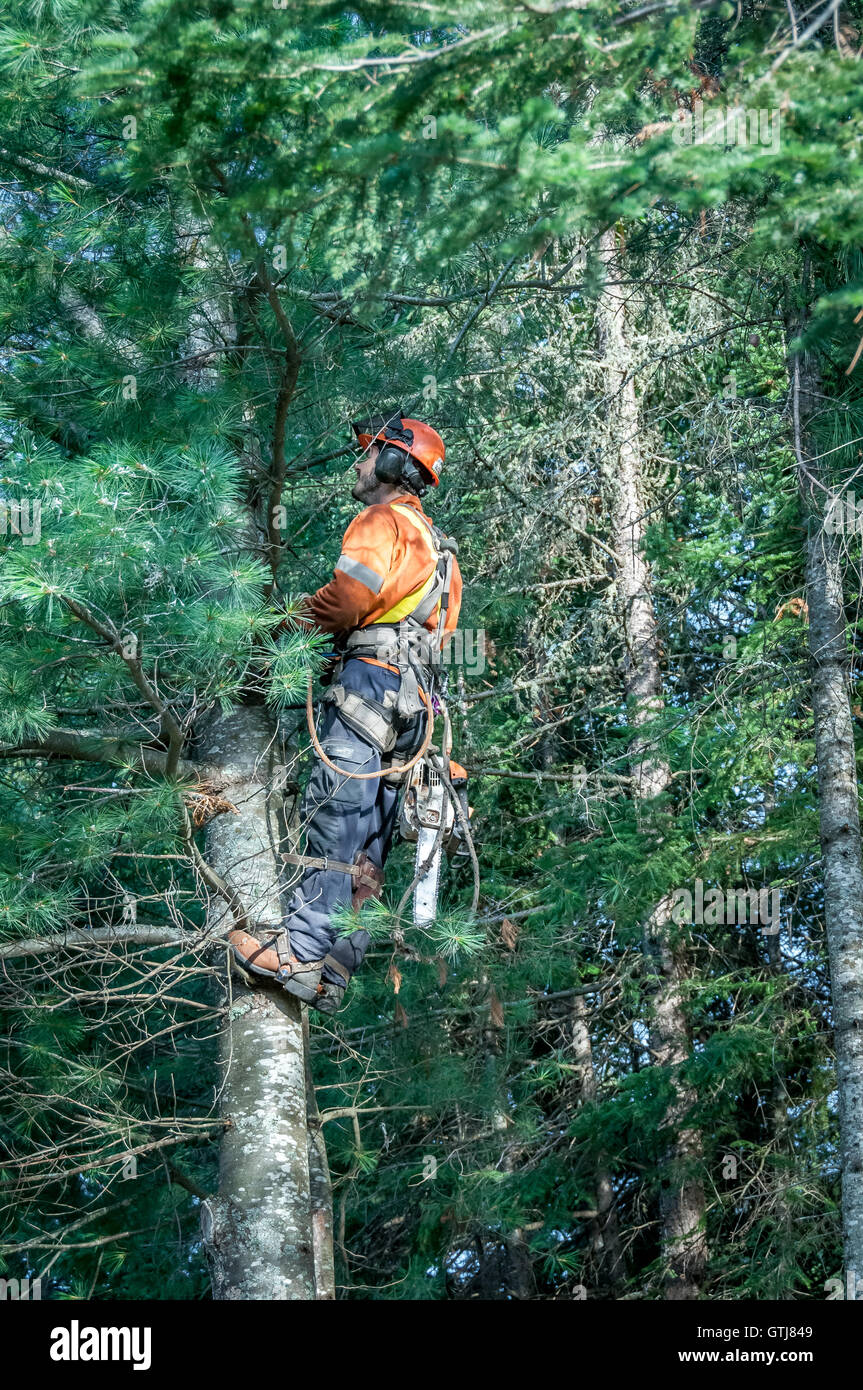 Professional lumberjack cutting tree on the top  with a chainsaw in Quebec country, Canada - Stock Image
