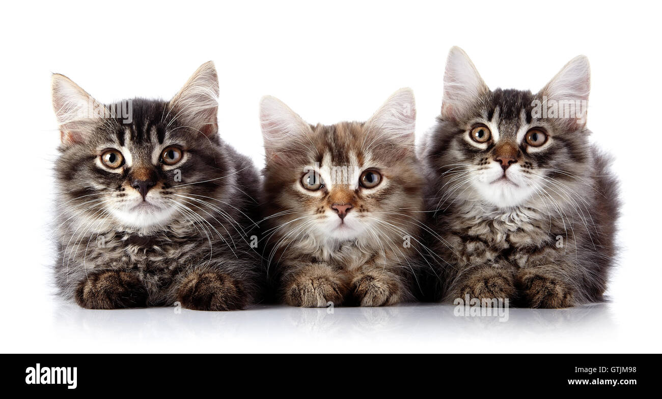 Three fluffy cats on a white background. - Stock Image