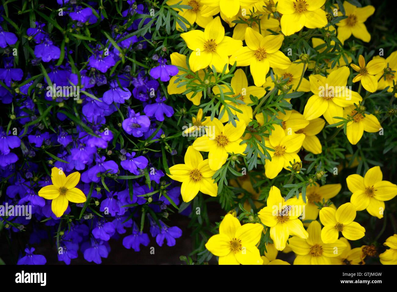 Blume, Alpen, Oesterreich. - Stock Image