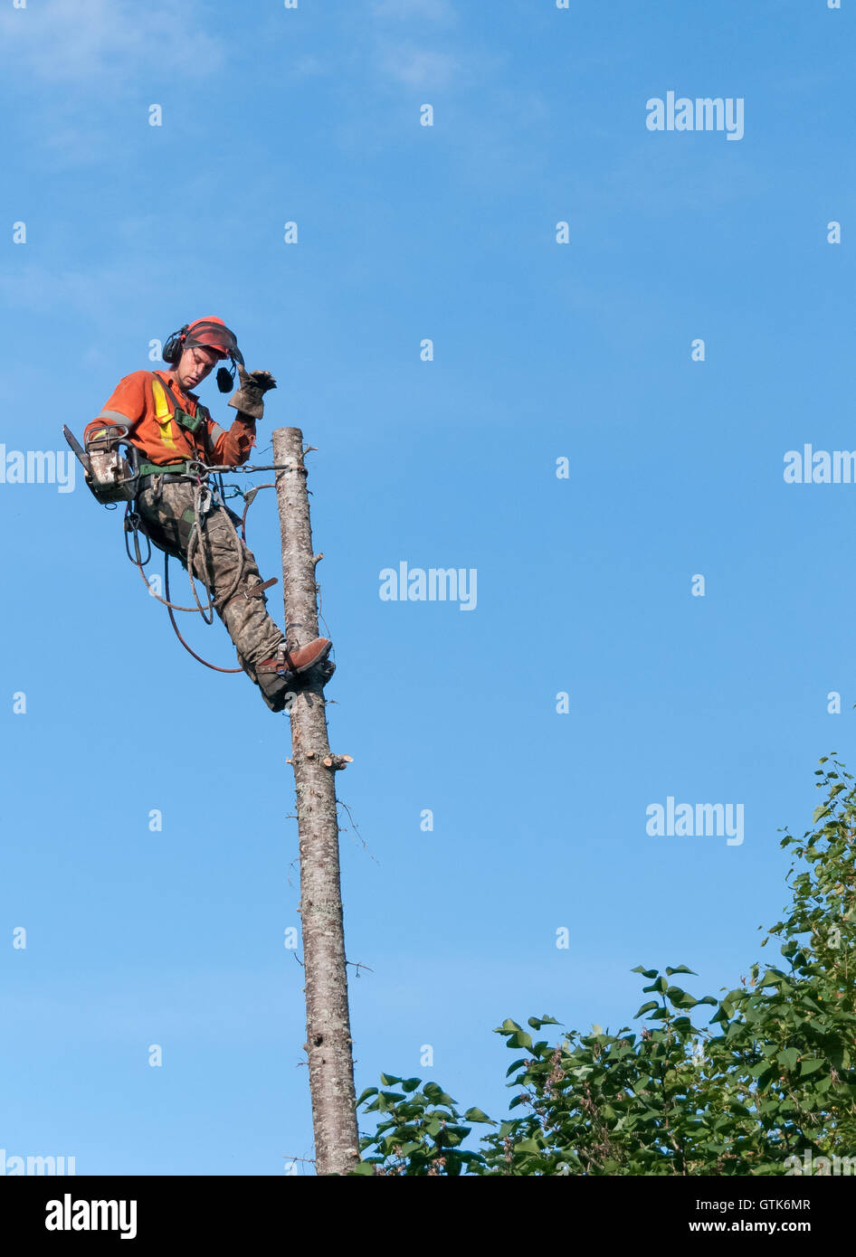 Professional lumberjack cutting tree on the top  with a chainsaw in Quebec country, Canada  - - Stock Image