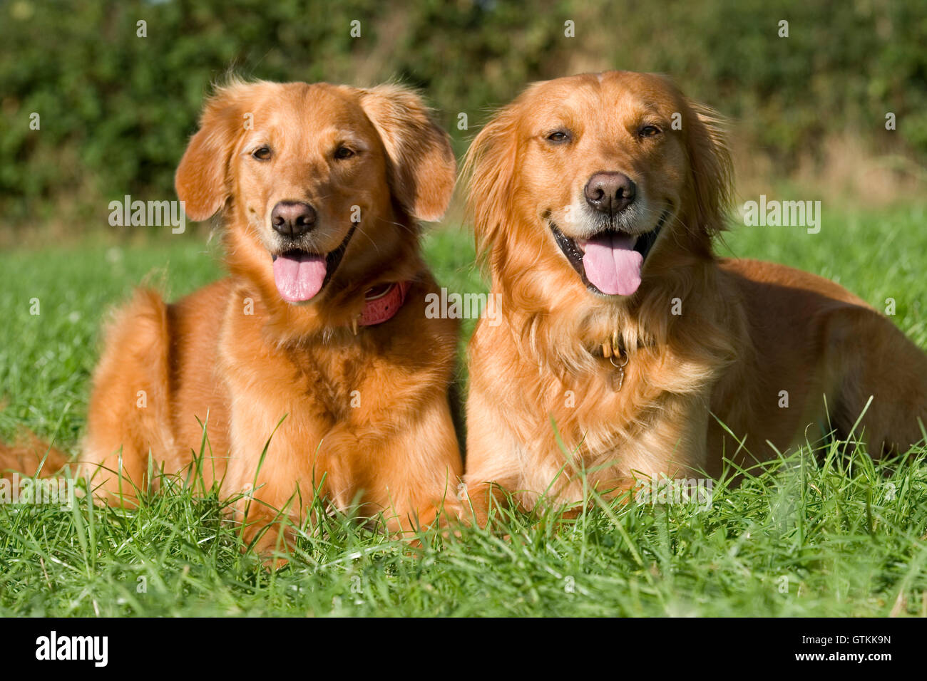 two golden retrievers lying down - Stock Image