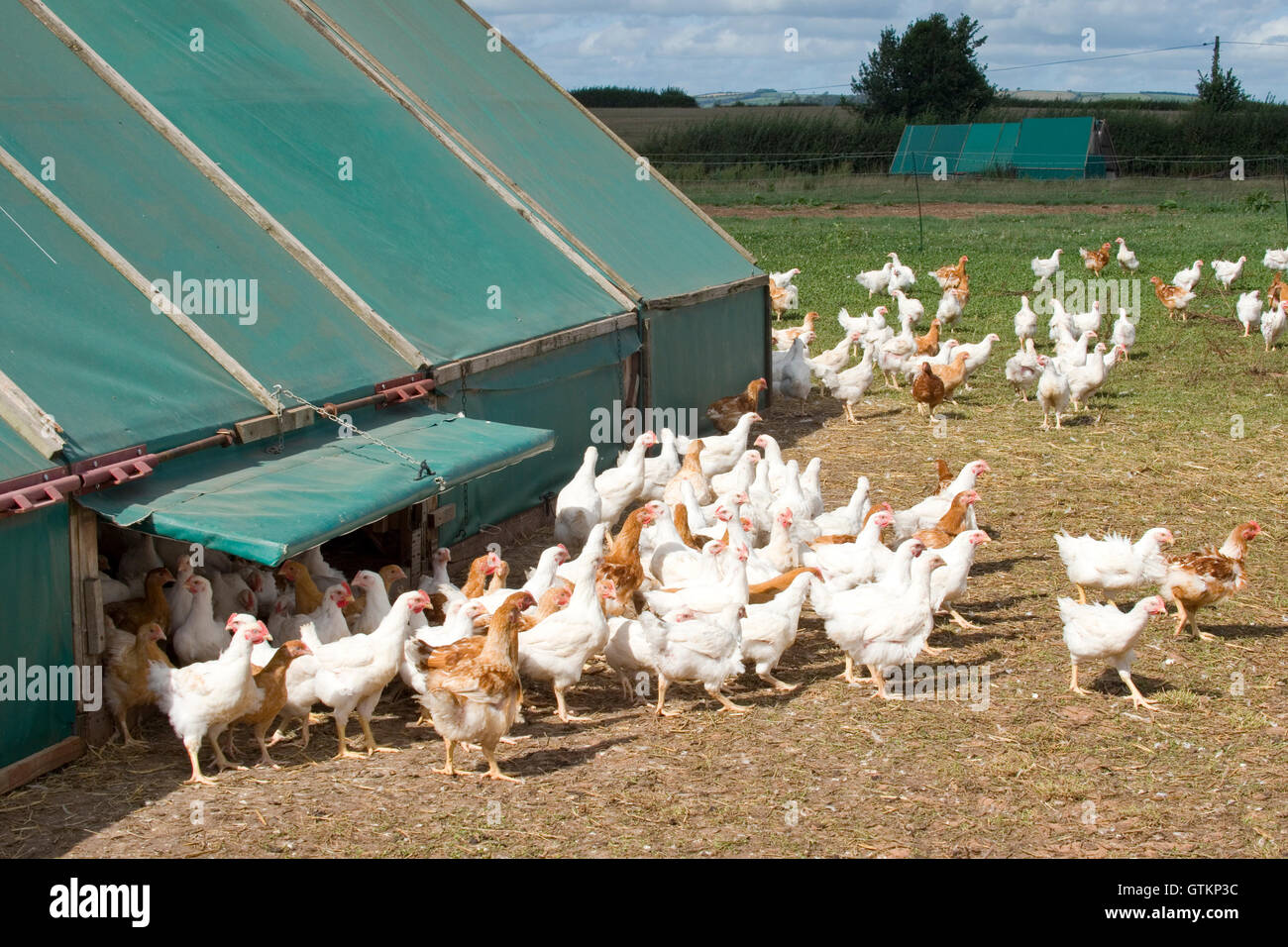 free range chickens coming out of chicken shed - Stock Image
