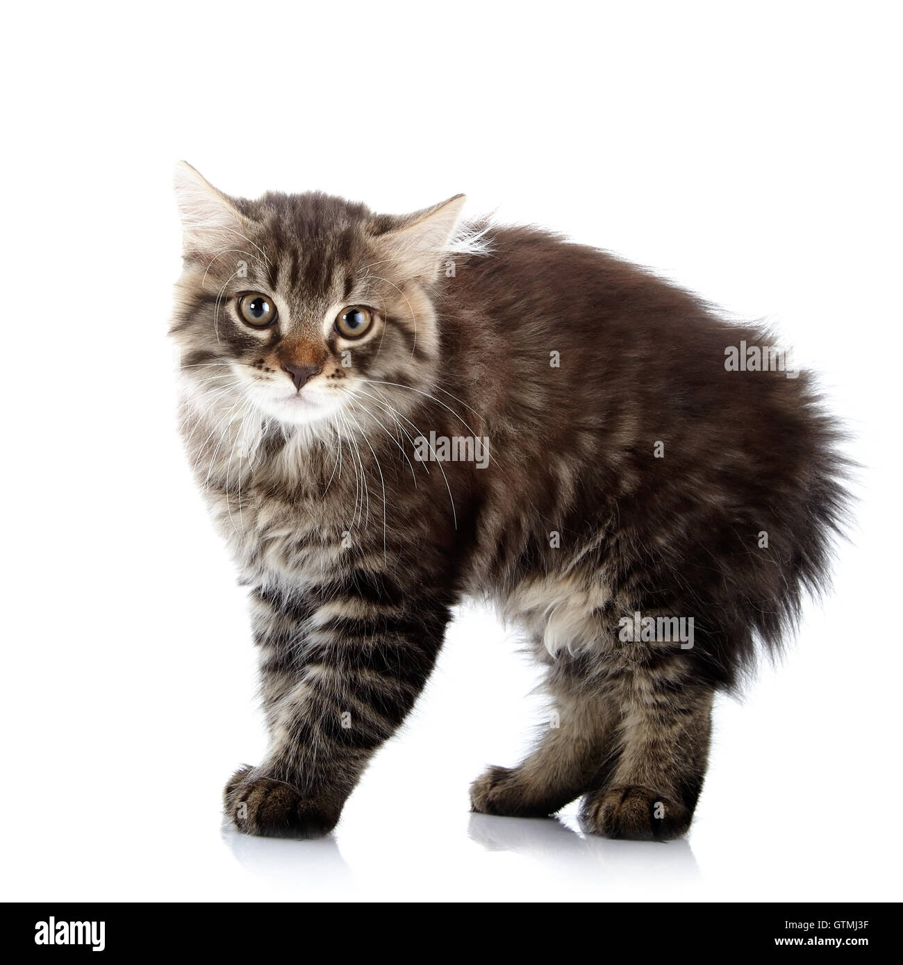 Striped fluffy angry tousled small cat - Stock Image