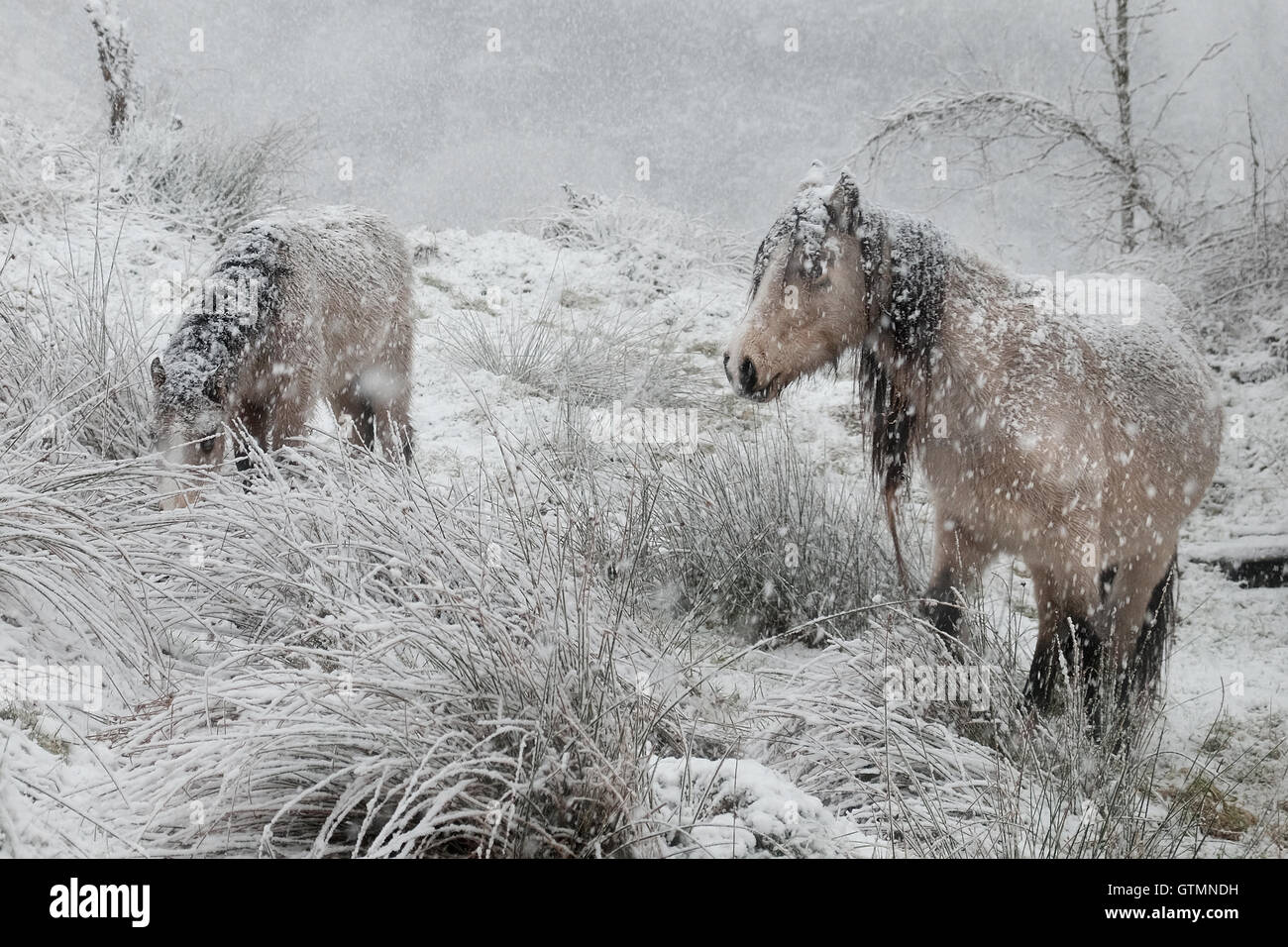 Welsh cobs forage for food in a blizzard - Stock Image