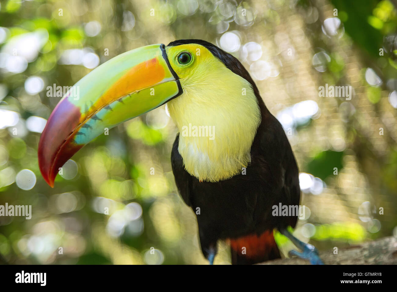 A close-up of a Keel-billed toucan in Belize - Stock Image