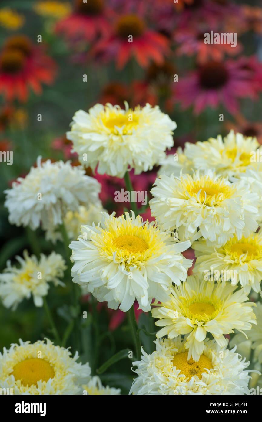 Leucanthemum X Superbum Real Charmer Shasta Daisy Flowers Stock