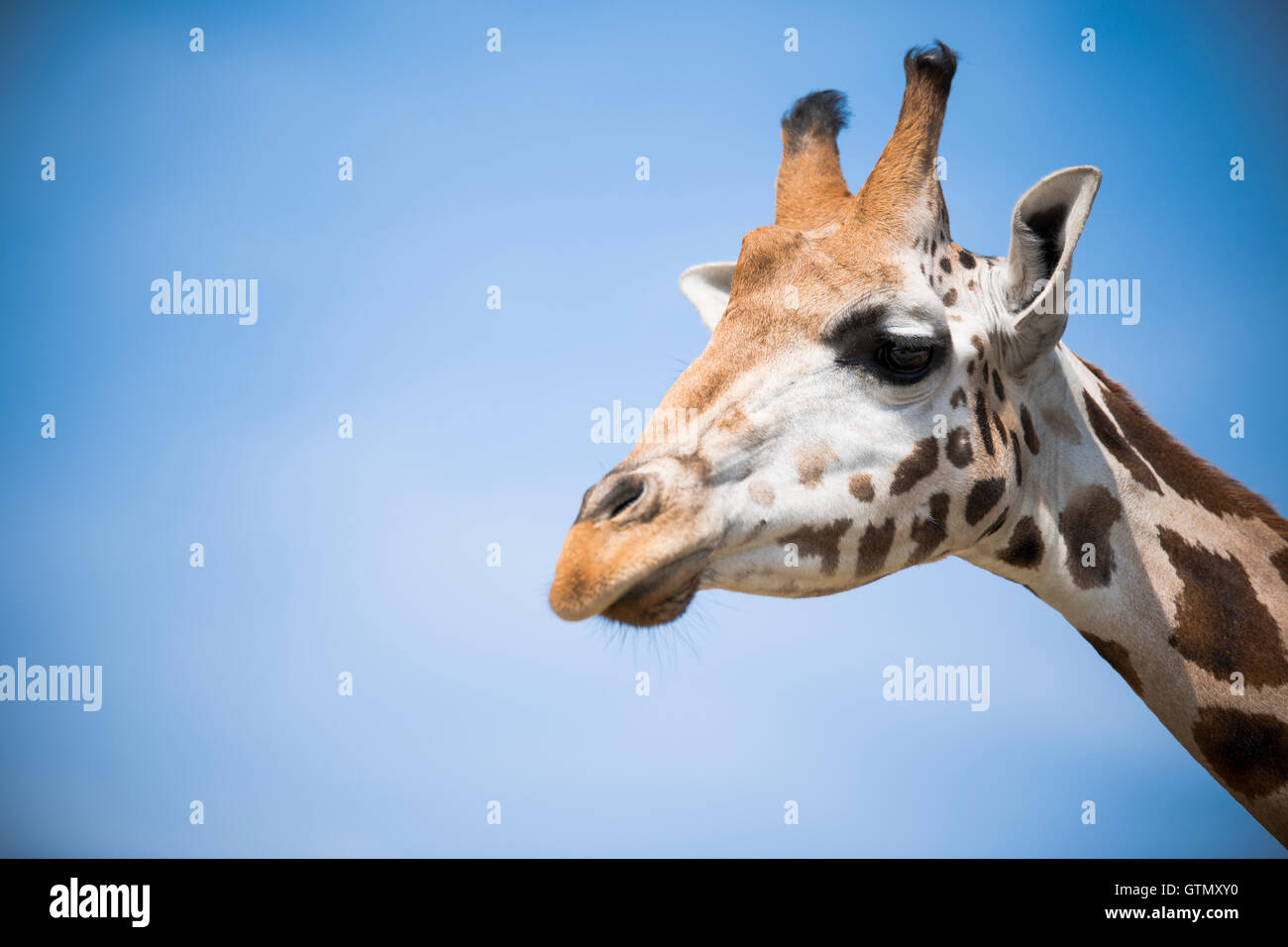 closeup of a giraffe on a blue sky - Stock Image