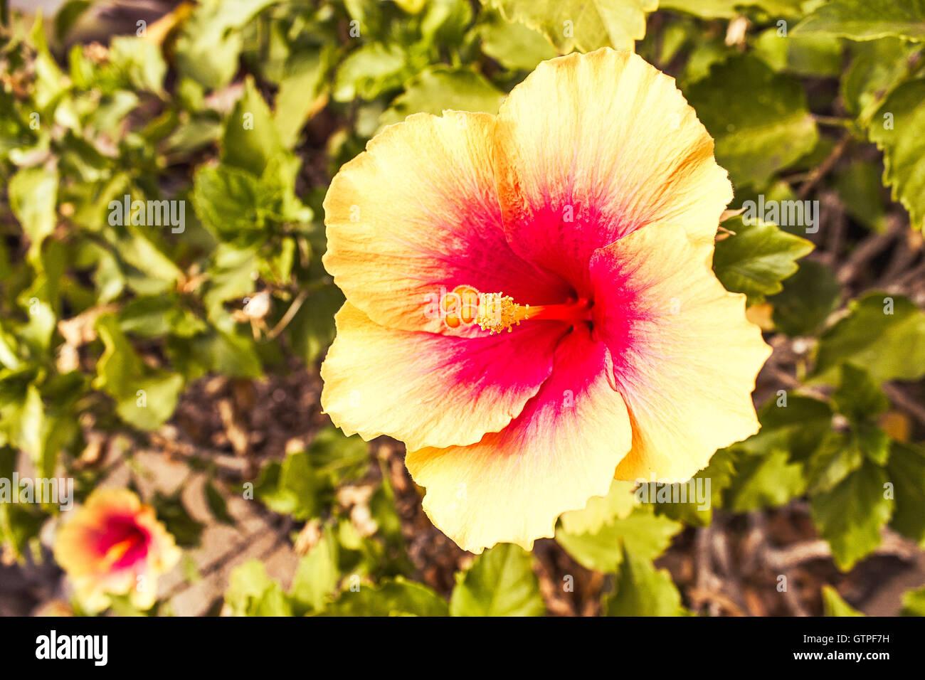 Beautiful Hawaiian Flower Stock Photos Beautiful Hawaiian Flower
