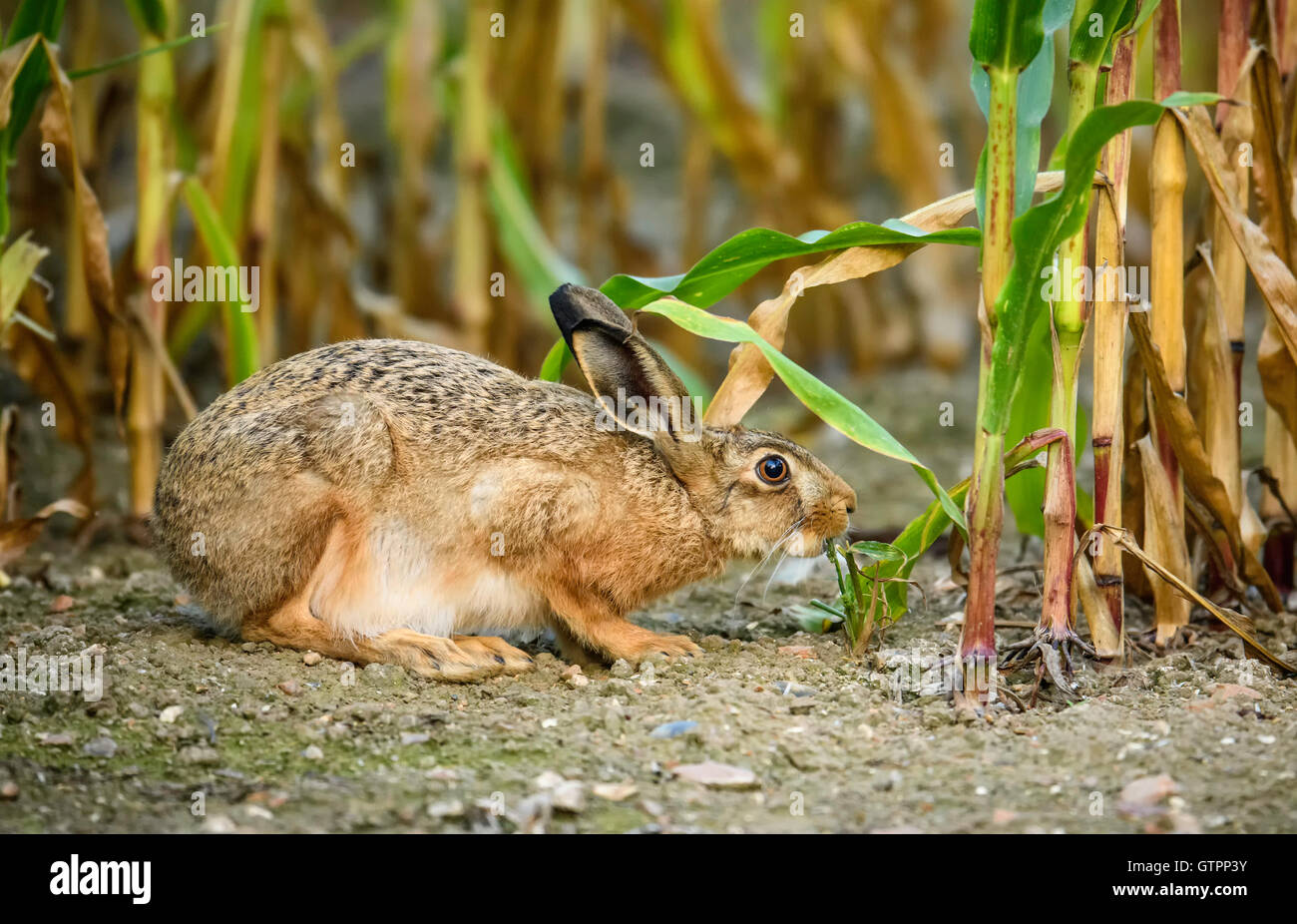 Brown Hare (Lepus europaeus) checking out the leaves on a sweetcorn plant. - Stock Image