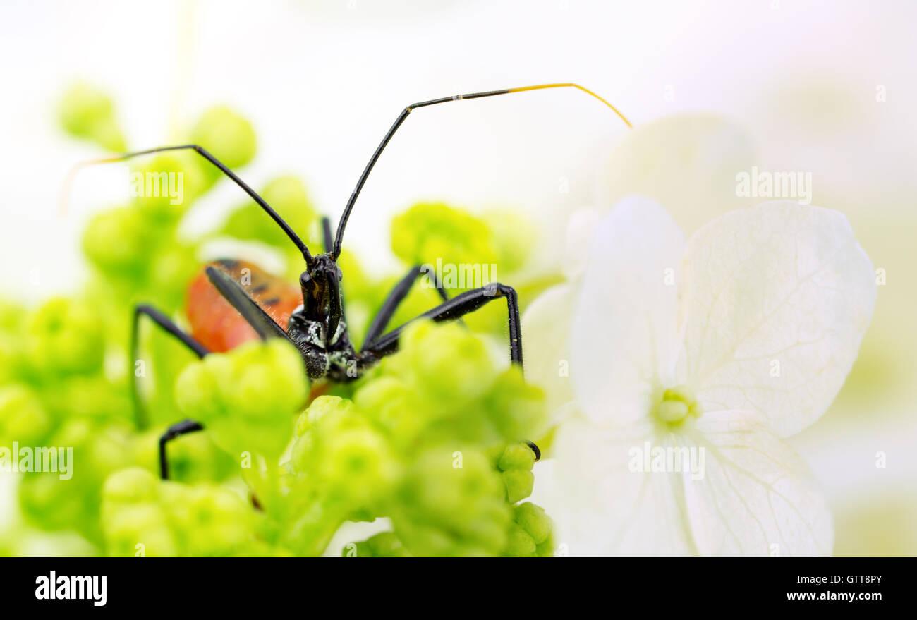 Wheel bug nymph, aka assassin bug, hiding in hydrangea blossom cluster.. - Stock Image
