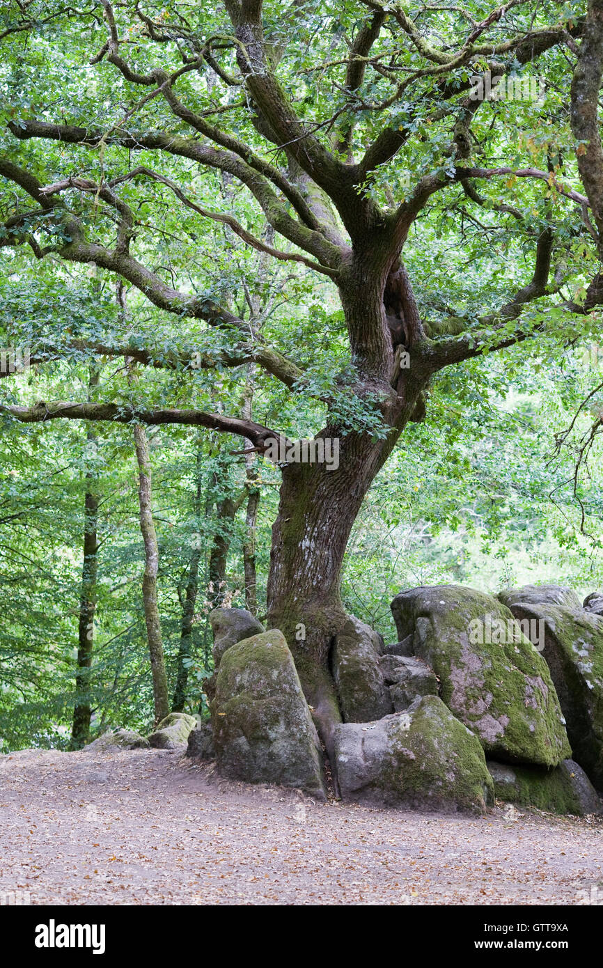 Quercus. Young oak tree in woodland. - Stock Image