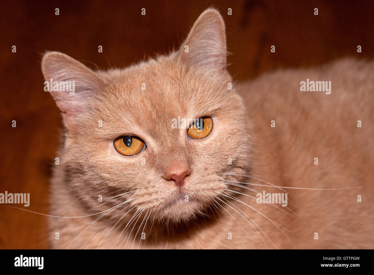 Closeup view of seriously looking fawn-colored or beige color cat against dark brown background Stock Photo