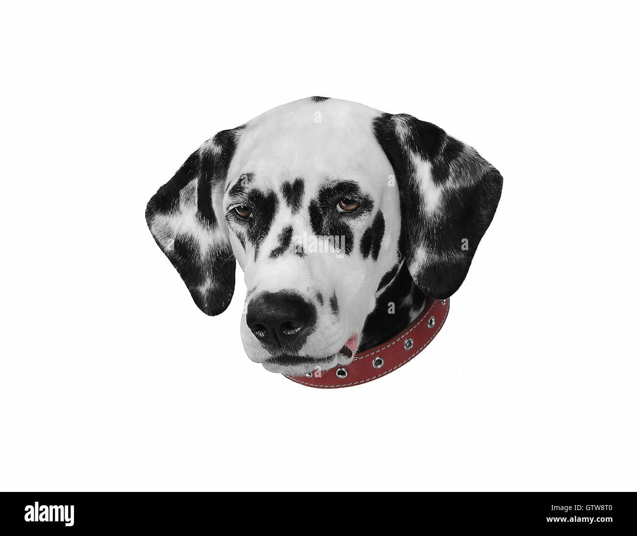 Dalmatian black and white portrait isolate studio photo - Stock Image