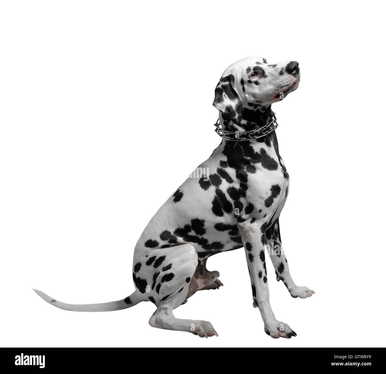 black and white dog sitting on a white background Dalmatian - Stock Image
