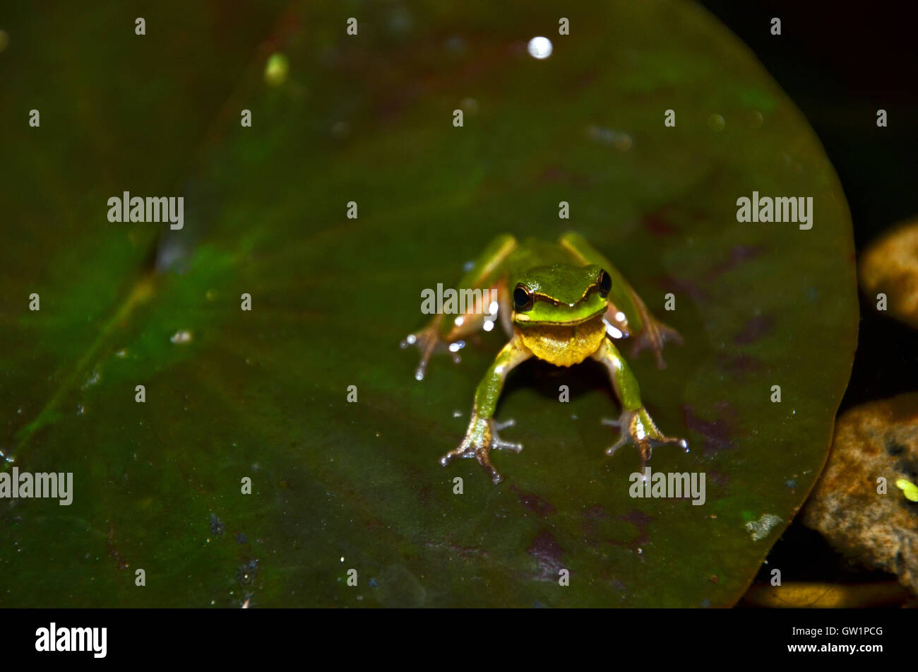Eastern dwarf tree frog (Litoria fallax), St Ives, Sydney, New South Wales, Australia - Stock Image