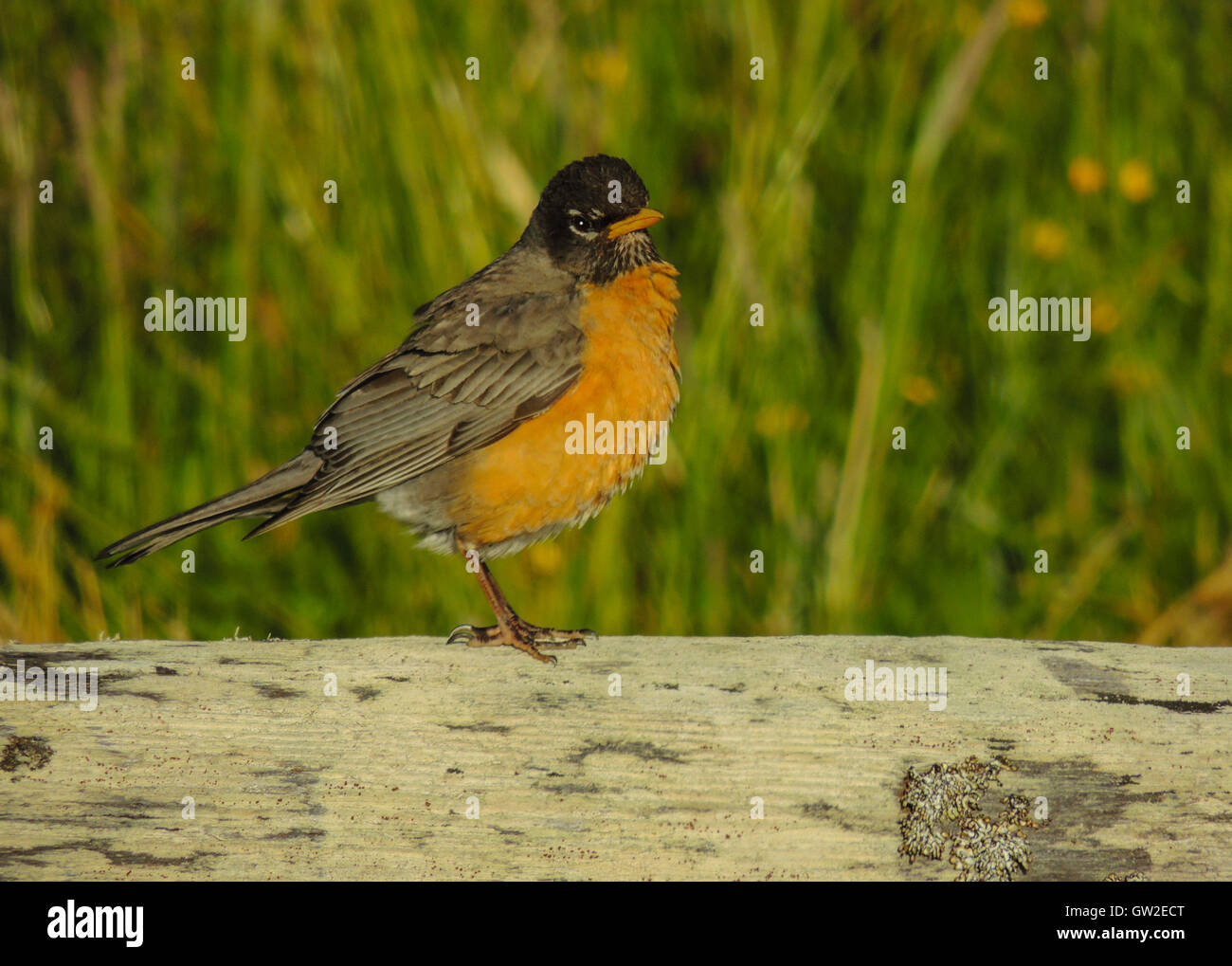 American Robin (Turdus migratorius) is a migratory songbird of the thrush family,  Prairie Creek Redwoods State - Stock Image