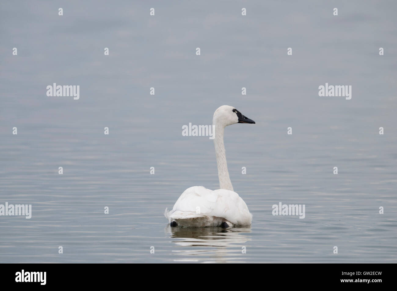 Tundra Swan (Cygnus columbianus) on a migratory stop at Tule Lake National Wildlife Refuge, Northern California Stock Photo