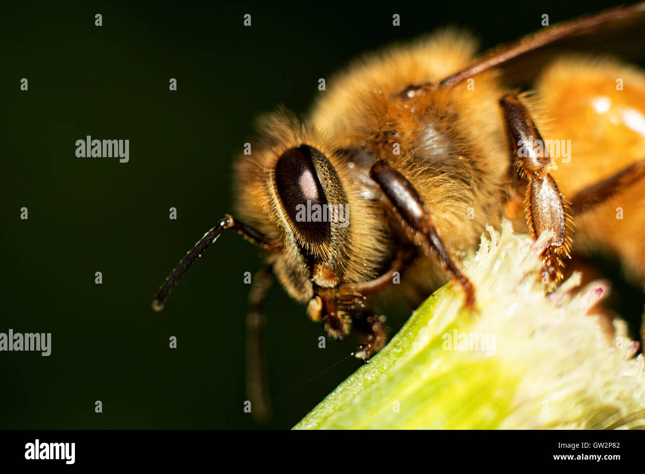 Honey Bee Macro Stock Photo