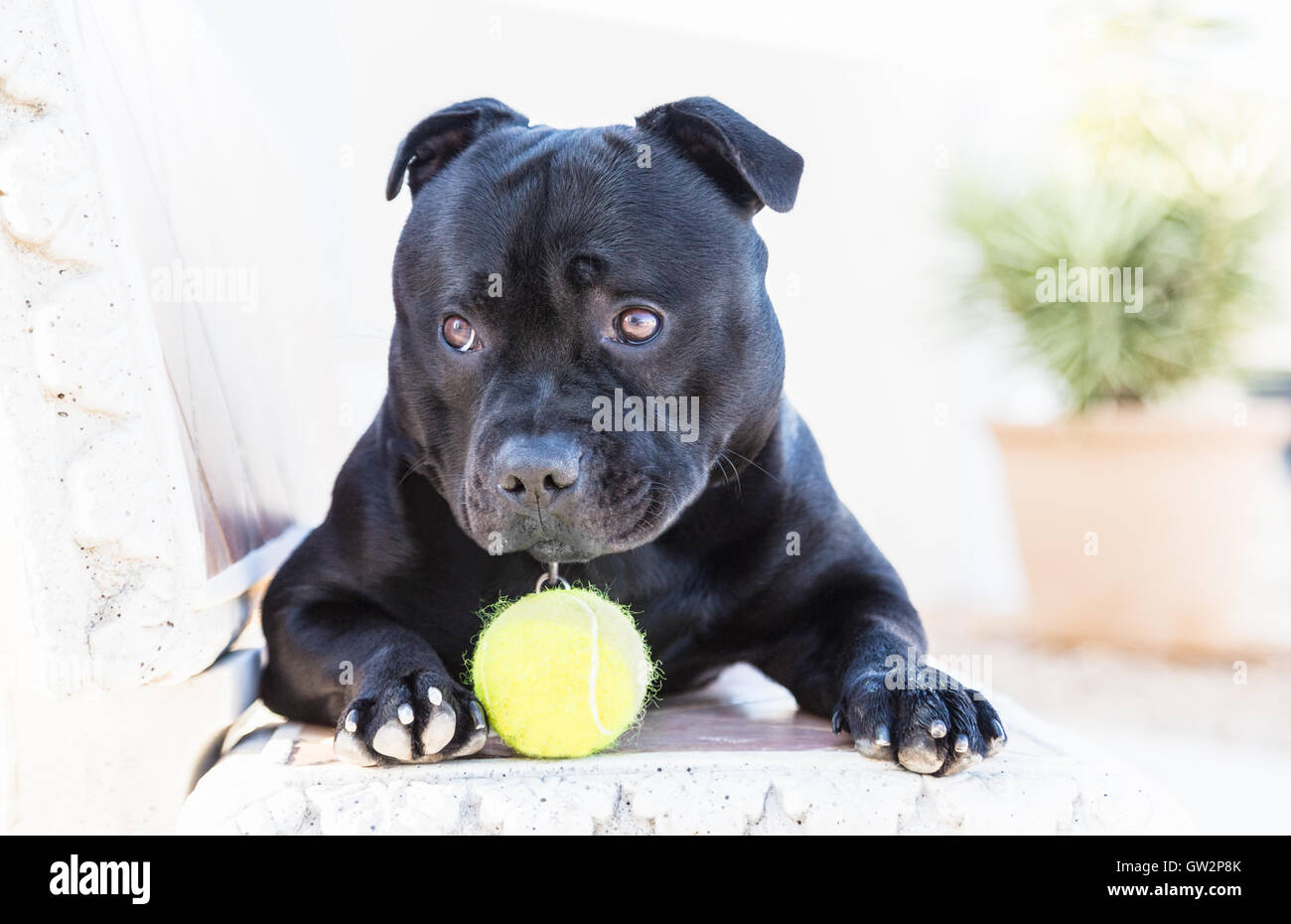 Young Staffordshire Bull Terrier dog lying on a bench with appealing puppy dog eyes, his eyebrows are raised slightly. - Stock Image