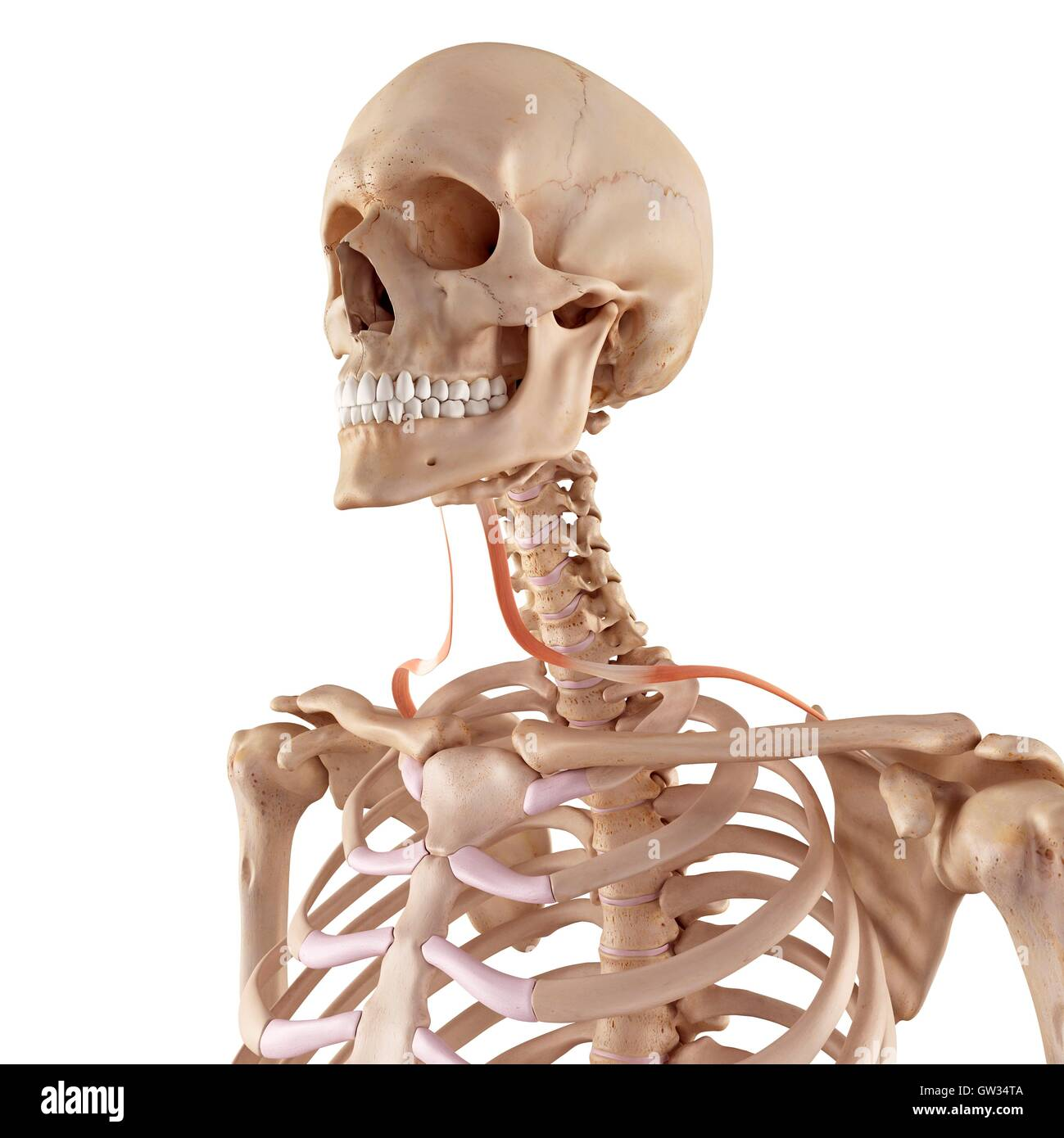 Human Neck Bones And Muscle Stock Photos Human Neck Bones And