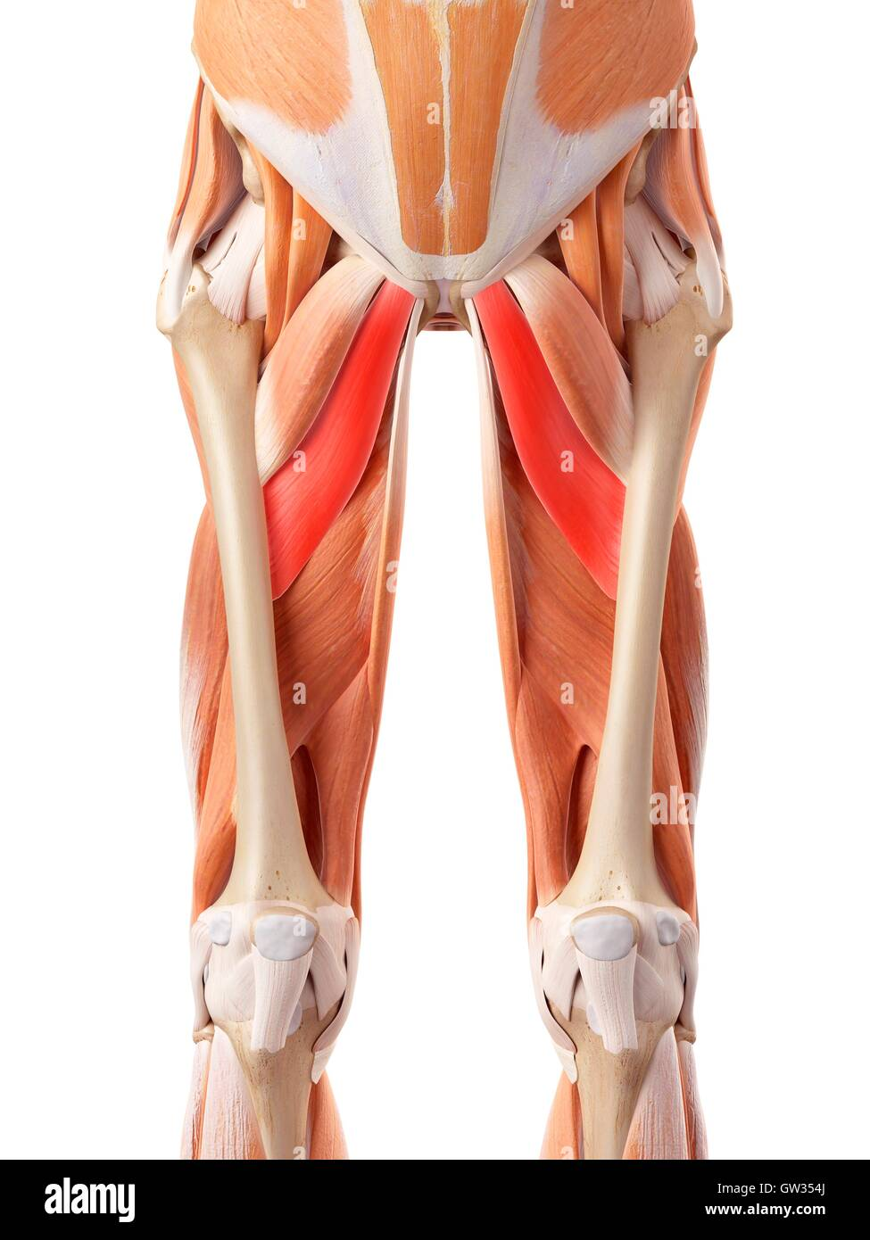 Human muscular system of the legs, illustration Stock Photo ...