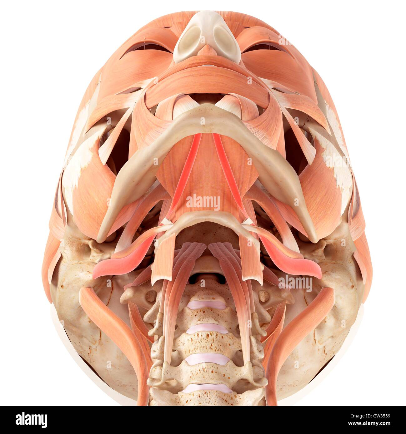 Human Jaw Muscles Stock Photos Human Jaw Muscles Stock Images Alamy