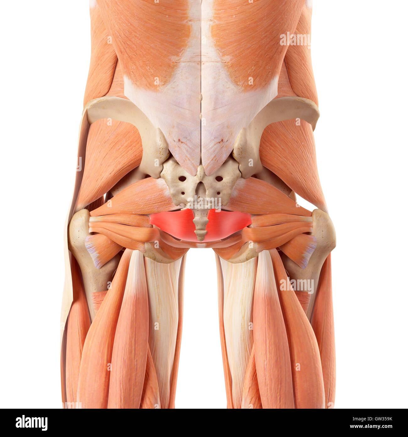 Human buttock muscles, illustration Stock Photo: 118698655 - Alamy