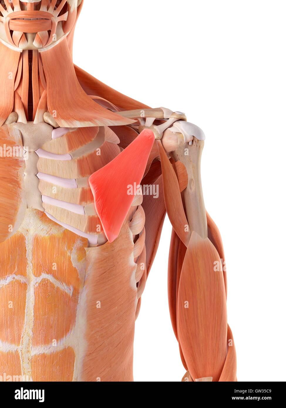 Pectoralis Minor Muscle Stock Photos Pectoralis Minor Muscle Stock