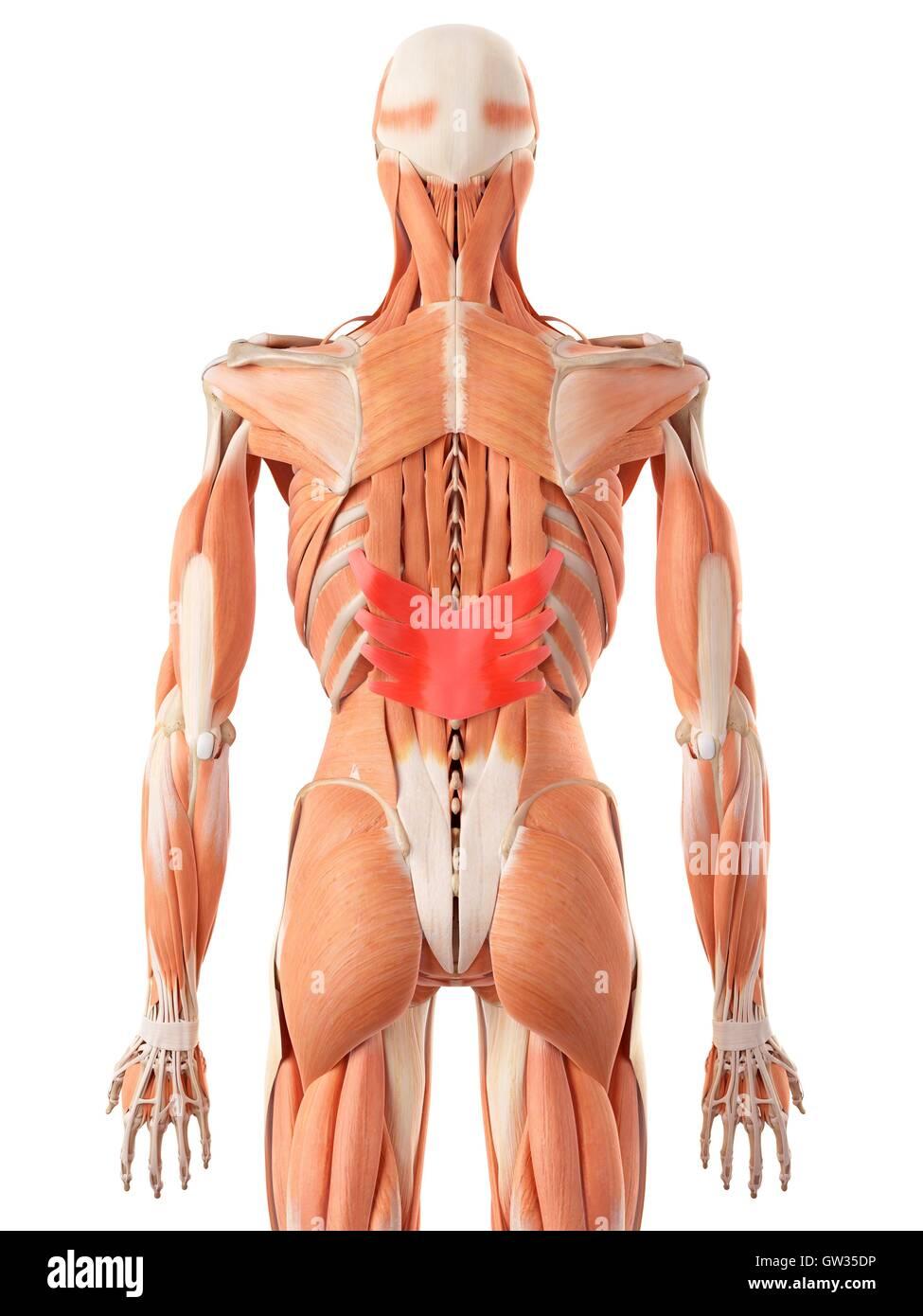 Human back muscles, illustration Stock Photo: 118698770 - Alamy