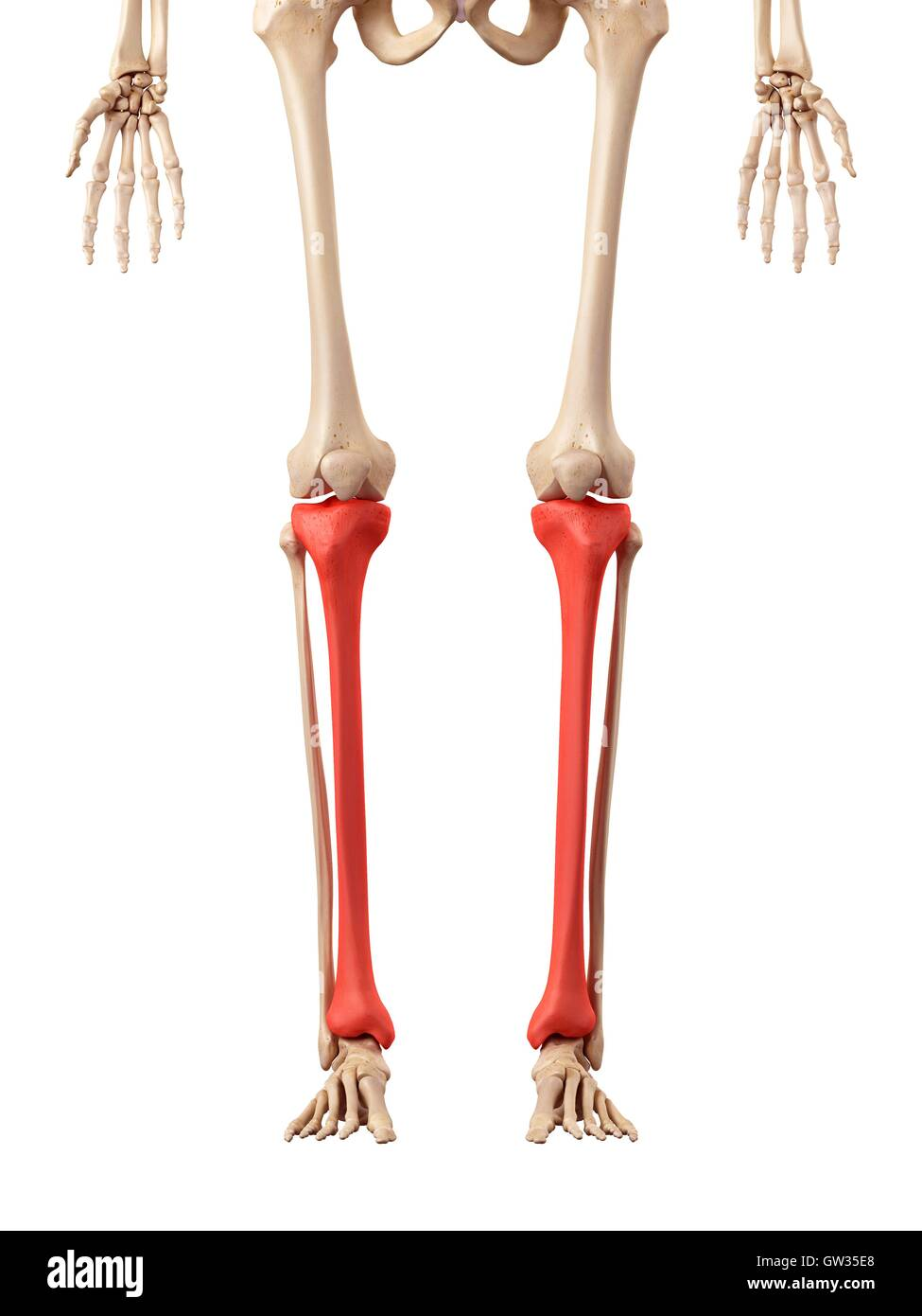 Lower Leg Bones Stock Photos Lower Leg Bones Stock Images Alamy