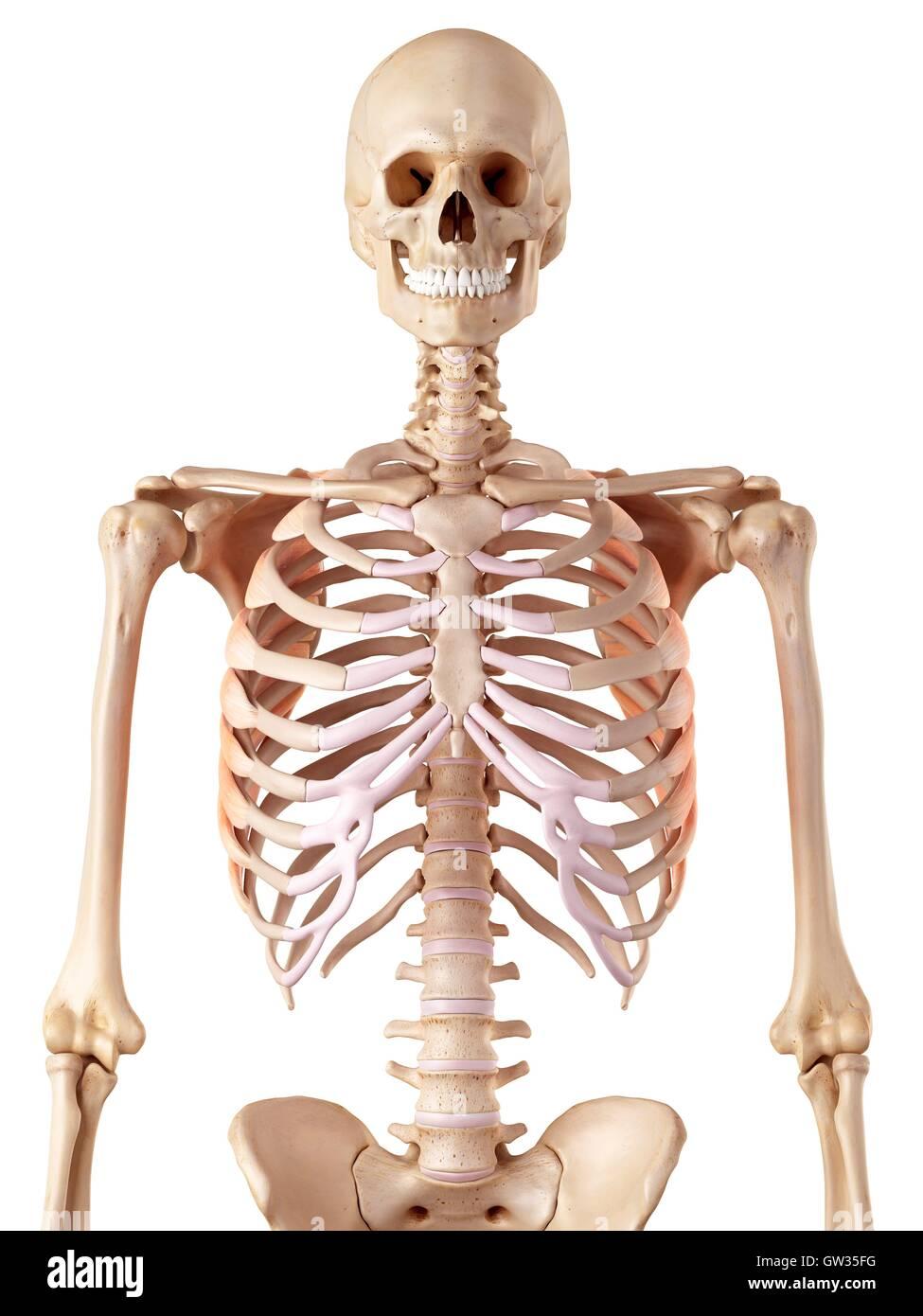 Human Rib Muscles Stock Photos & Human Rib Muscles Stock Images - Alamy