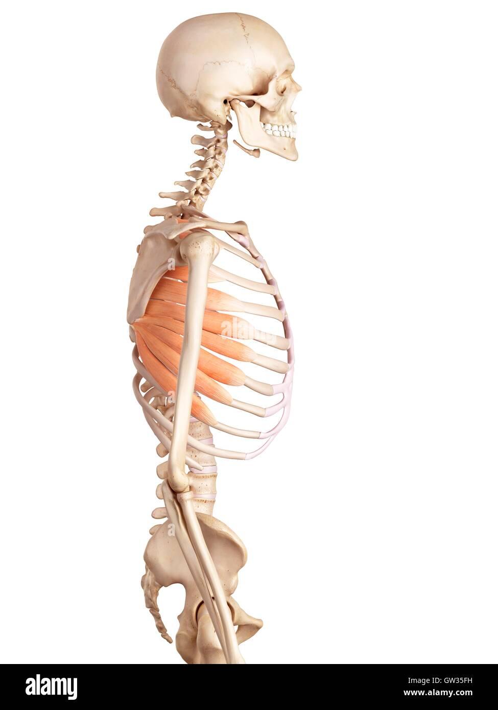 Human rib muscles, illustration Stock Photo: 118698821 - Alamy
