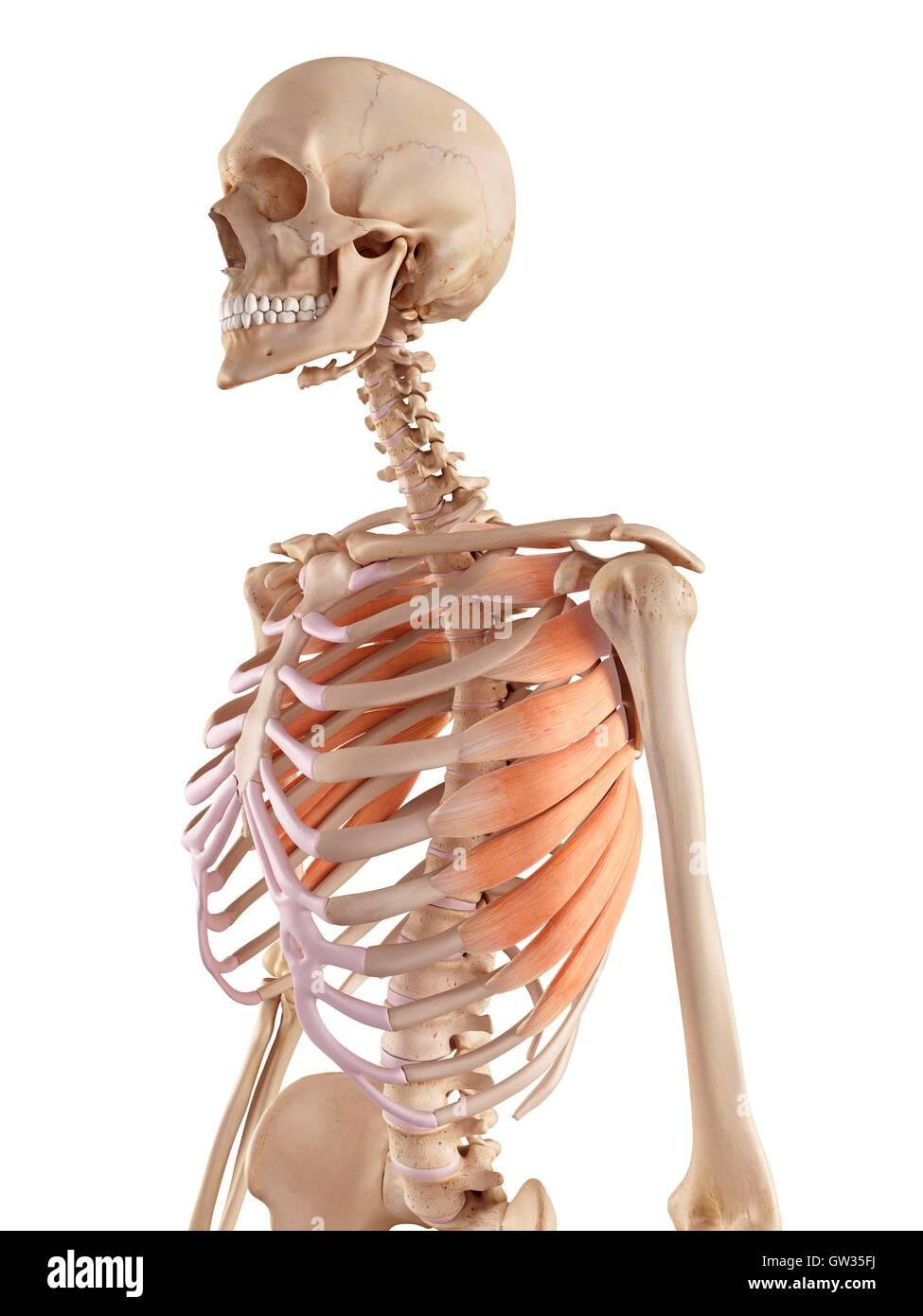 Human rib muscles, illustration Stock Photo: 118698822 - Alamy