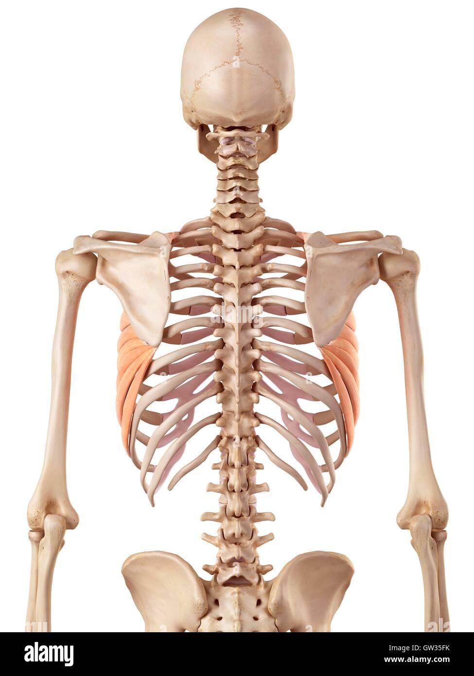 Human rib muscles, illustration Stock Photo: 118698823 - Alamy