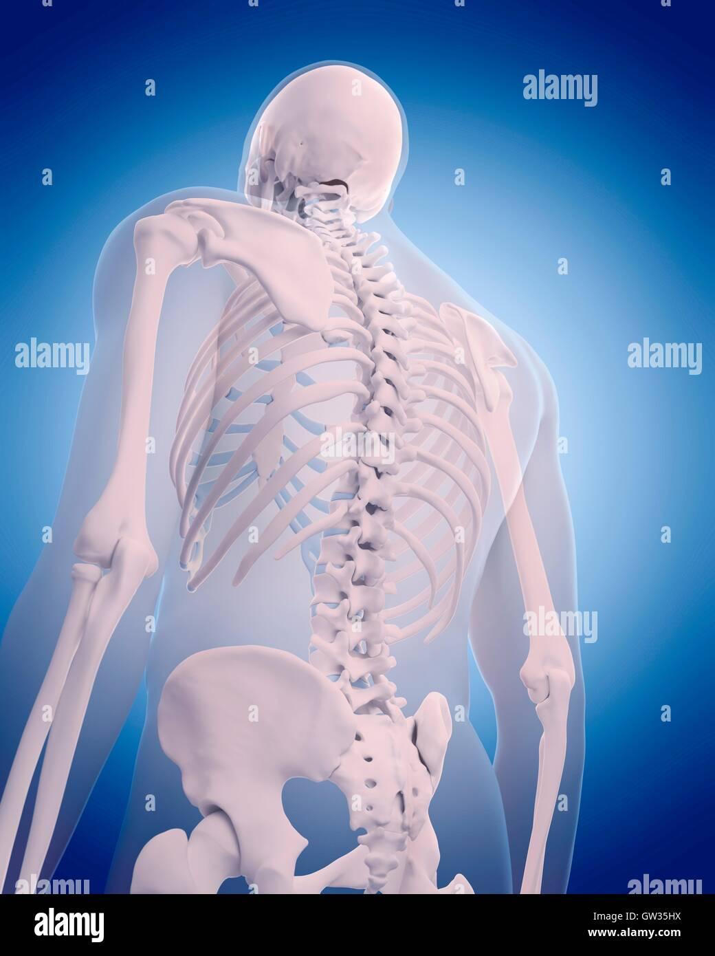 Human Back Bones Stock Photos Human Back Bones Stock Images Alamy