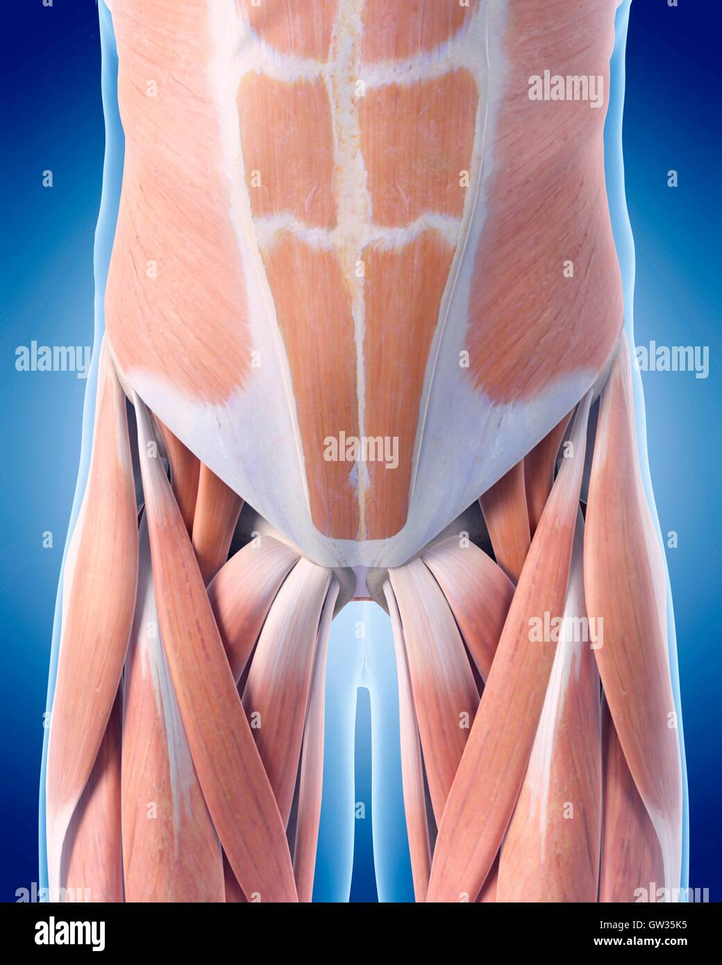 3d Abdomen Abdominal Anatomical Stock Photos 3d Abdomen Abdominal