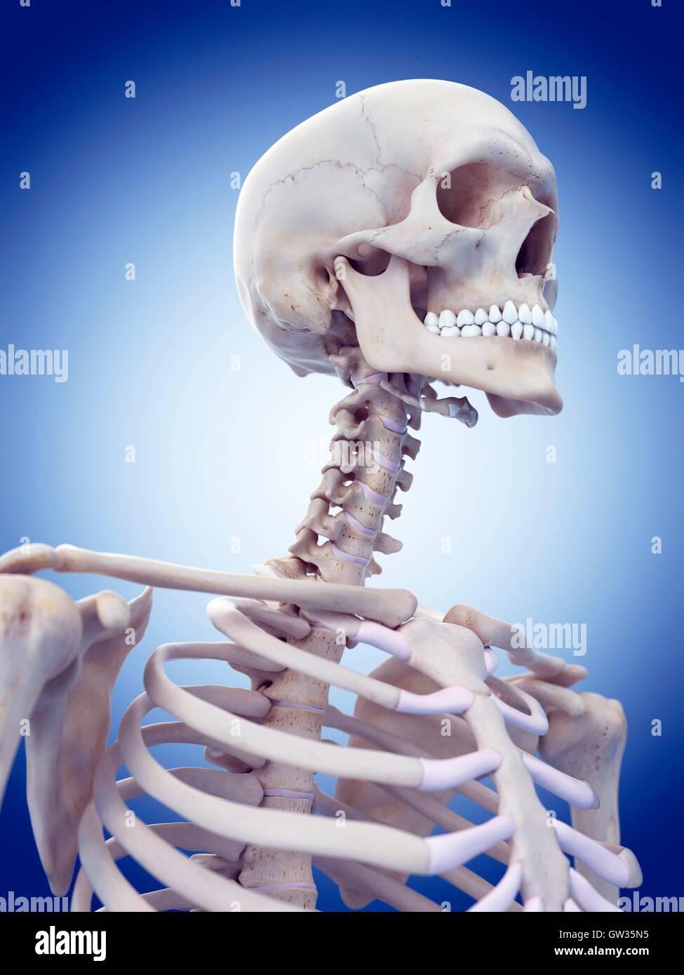 Human Skull And Neck Bones Stock Photos Human Skull And Neck Bones