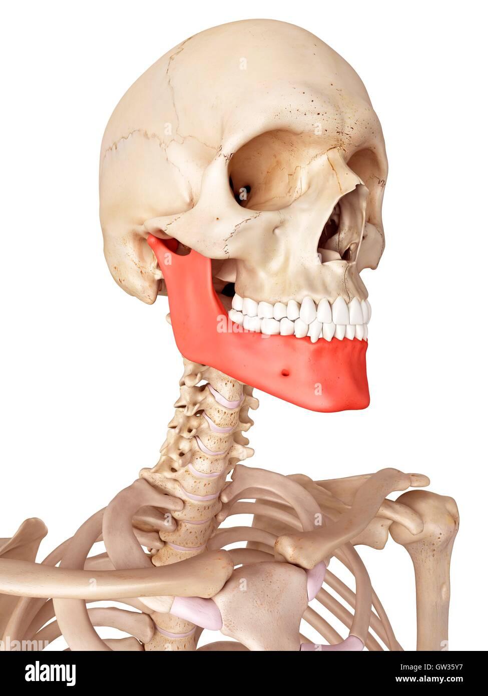 Beste The Human Jaw Anatomy Zeitgenössisch - Menschliche Anatomie ...