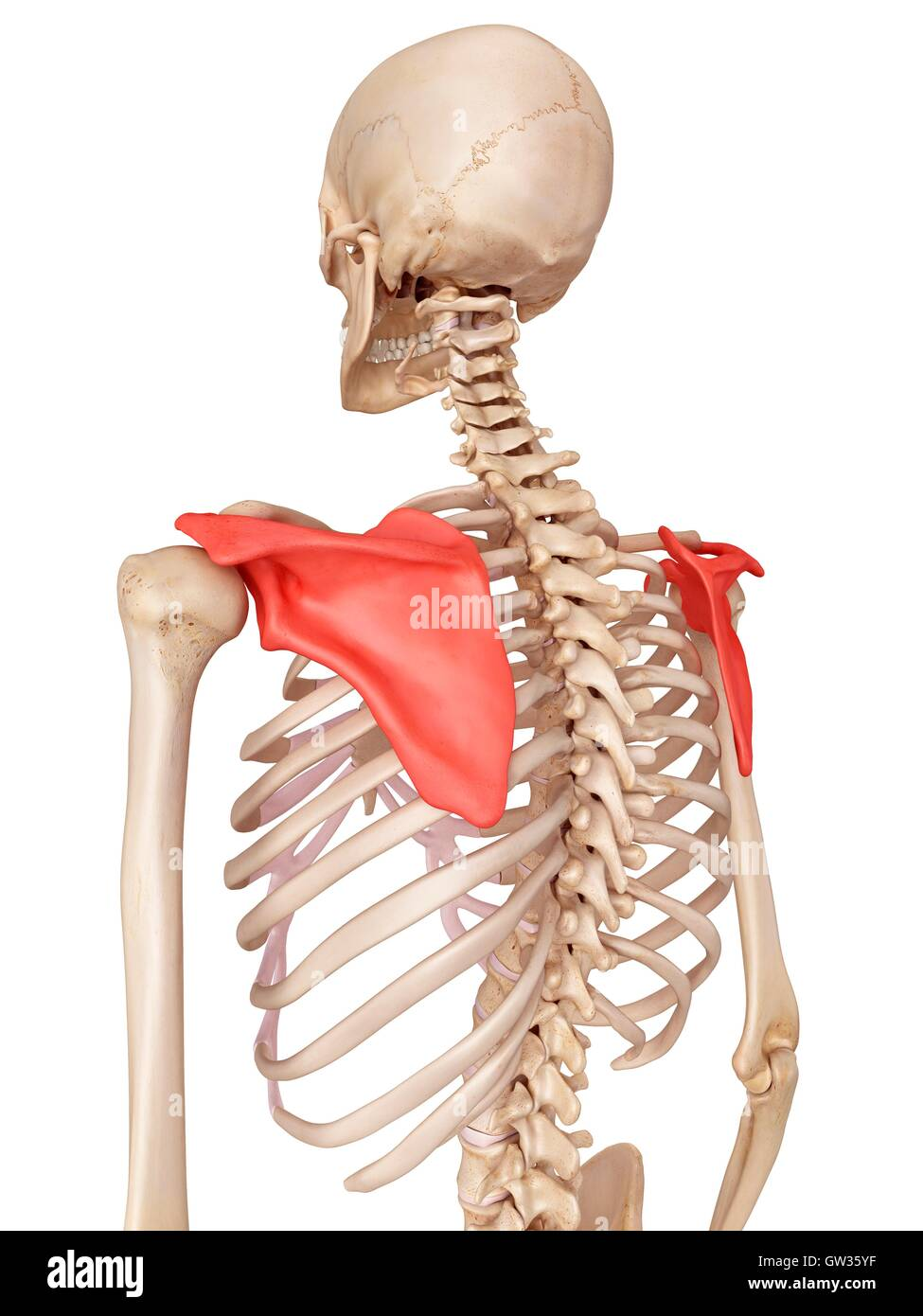 Human shoulder blade, illustration Stock Photo: 118699155 - Alamy