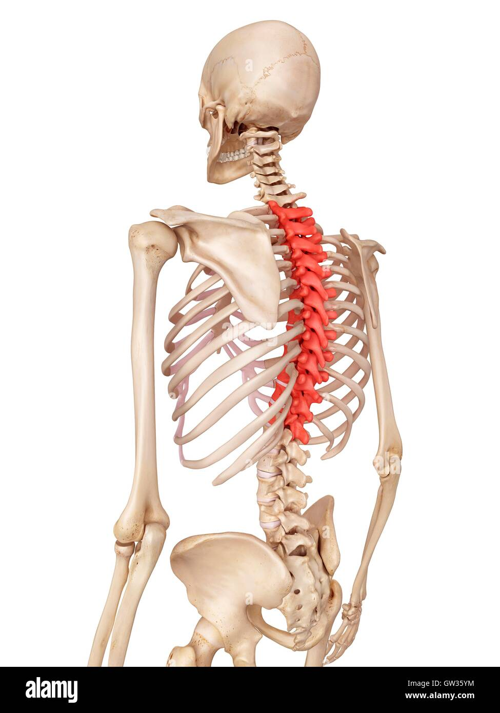 Thoracic Spine Stock Photos Thoracic Spine Stock Images Alamy
