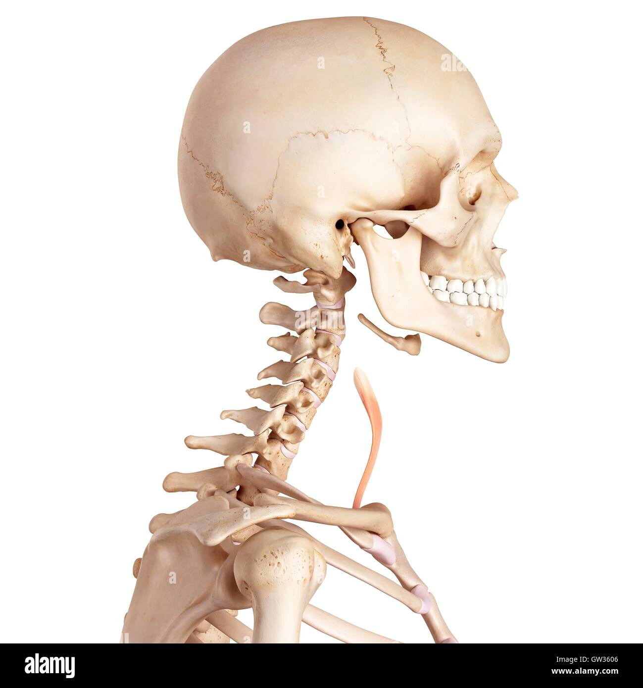 Human Neck Bones And Muscle Stock Photos Human Neck Bones And