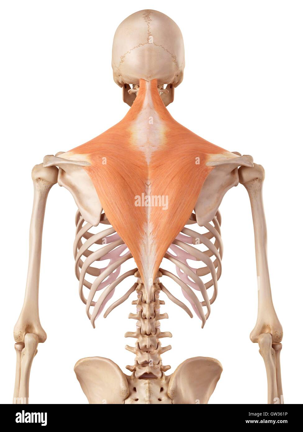 Shoulder Muscles Anatomy Stock Photos Shoulder Muscles Anatomy