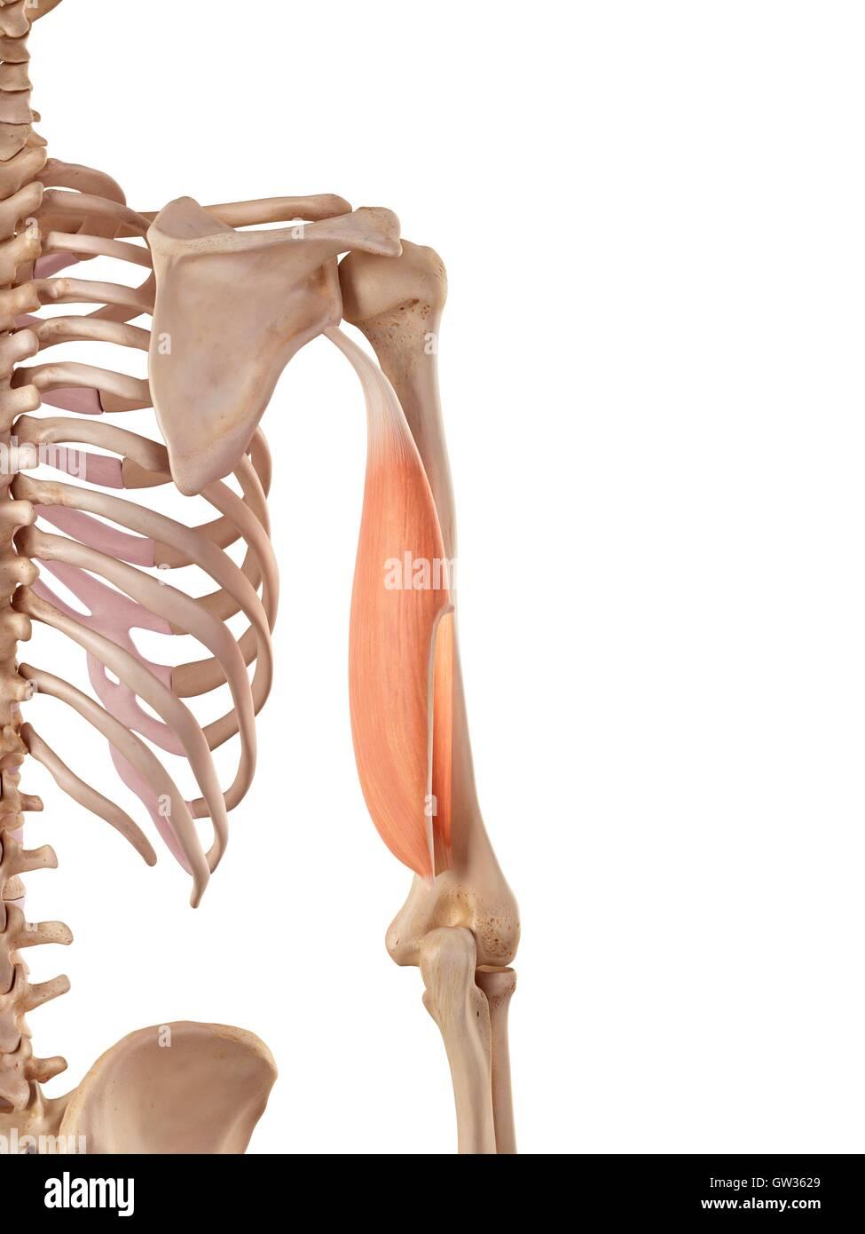 Human triceps, illustration Stock Photo: 118699233 - Alamy