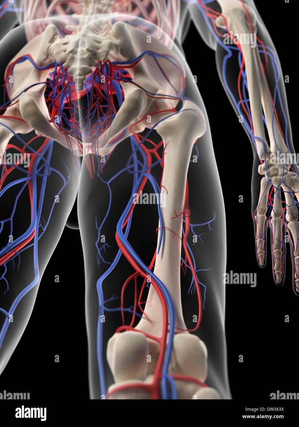 Vascular system of the human leg, illustration Stock Photo ...
