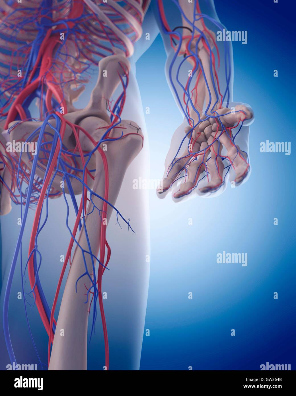 Human vascular system of the hand, illustration Stock Photo ...