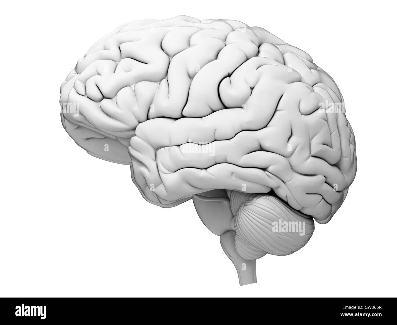 Human brain, illustration. - Stock Image