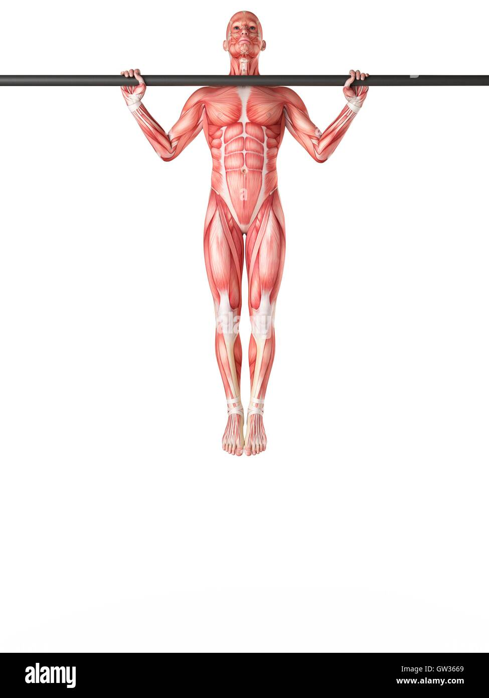 Muscular System Of Person Exercising On Pull Up Bar Illustration