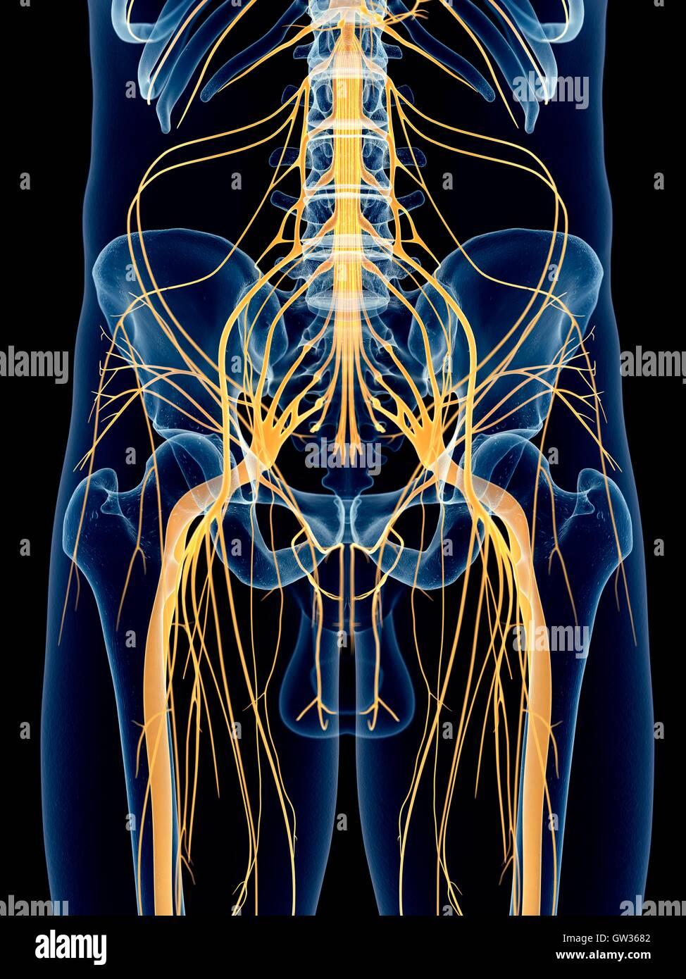 Human sciatic nerve, illustration Stock Photo: 118699394 - Alamy