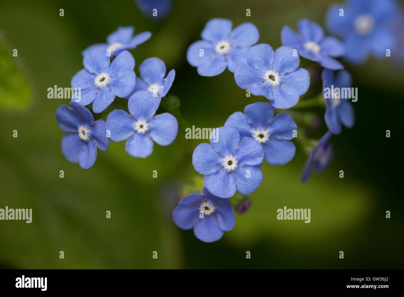 Close-up of Blue Forget-Me-Not Flowers - Stock Image